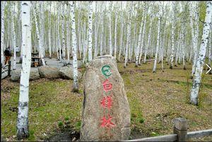 白桦林55